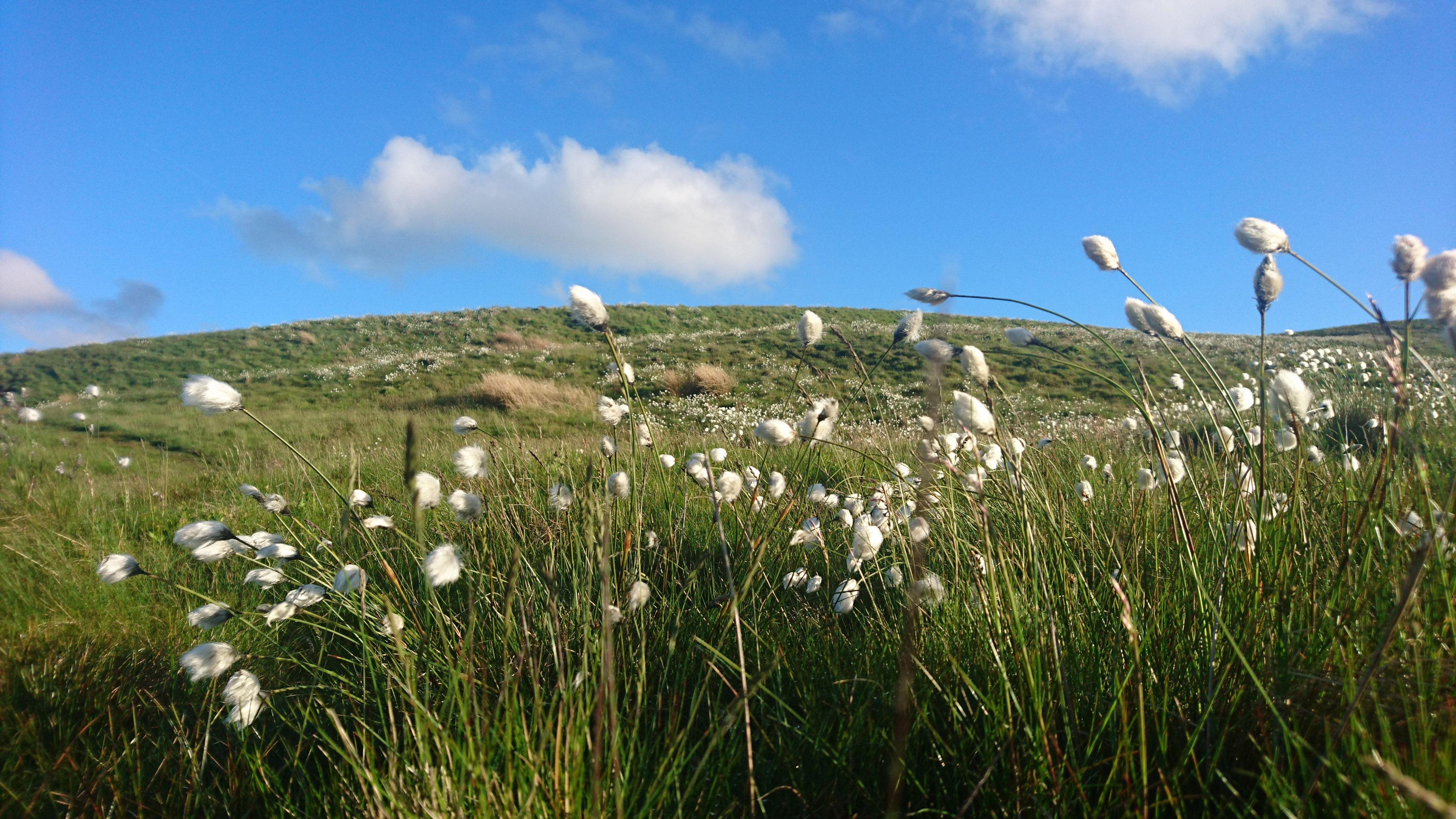 Cotton Grass on Burnbank