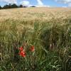 Heddon Poppy