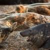 Grey Seals on the Norfolk Coast