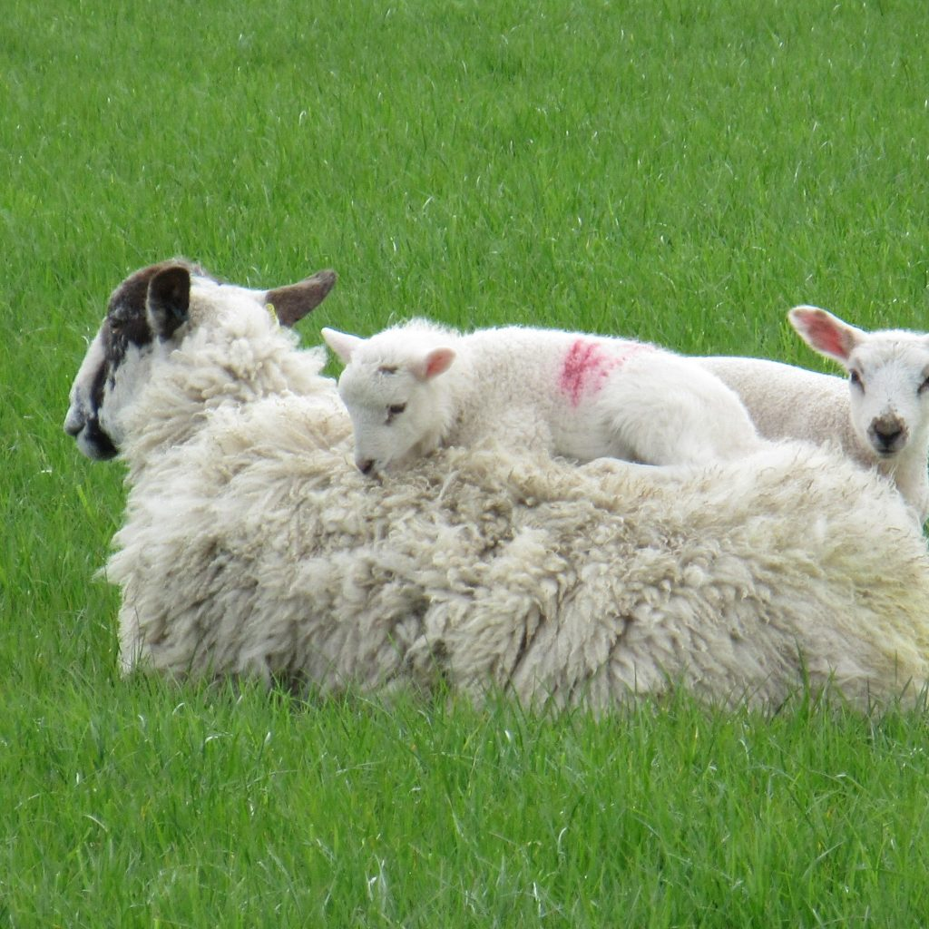 Lambs on the South Downs Way